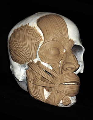 Anatomical sculpture of facial muscles on a skull by Karen T. Taylor.