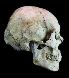 image of skull used in historical reconstruction by karen t. taylor