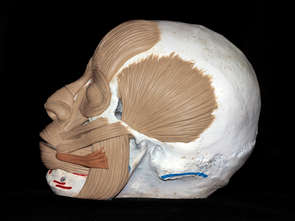 sculpted muscles on a skull by karen t taylor, highlighting the risorius muscle
